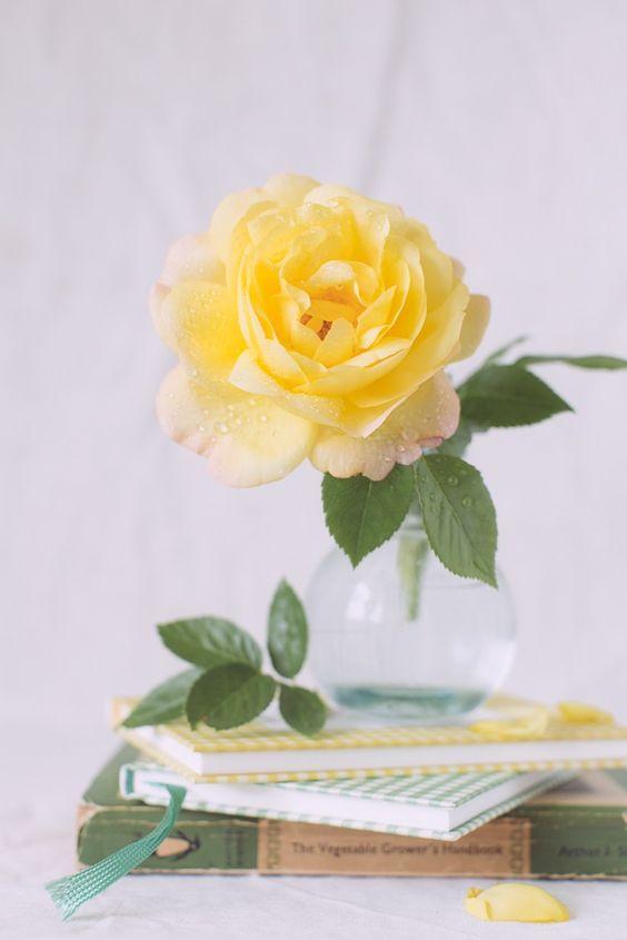 Beautiful single yellow rose.: