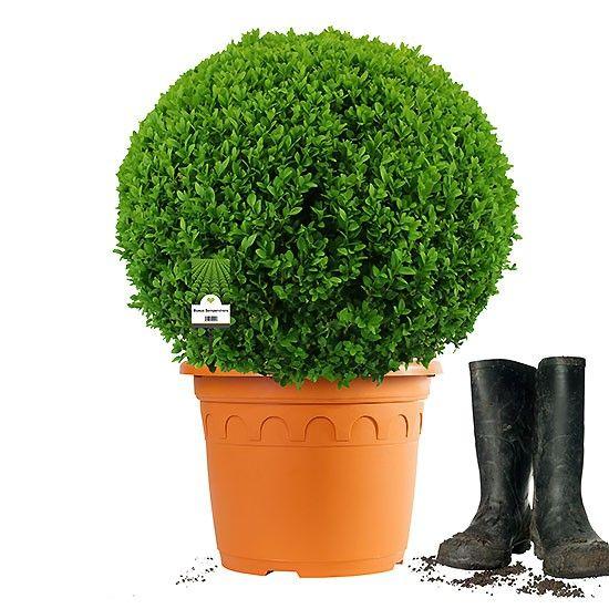 Buchsbaum Kugel Ø40-45cm | Getopft | ±8 Jahre alt