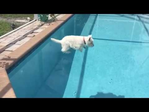 Water Loving Westie Takes On Her Pool In Slow Motion Youtube