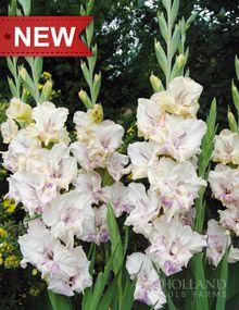 Chantal Gladiolus from Holland Bulb Farms - on order    http://www.hollandbulbfarms.com/itemdesc.asp?item=Chantal-Gladiolus&cat=DutchGladioli&ic=76158