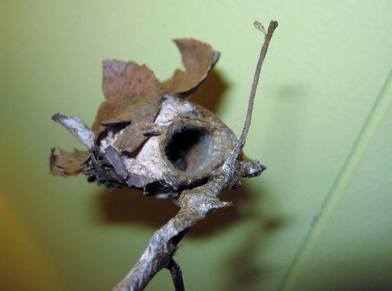 Moth Cocoon