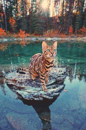湖の岩に乗る猫