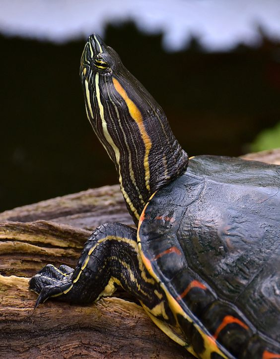 Painted Turtle sunning itself at Tortuguero National Park.: