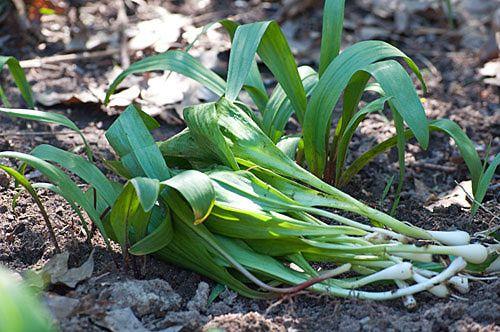 Ramps - Growing Ramps, or Wild Leeks, in the Home Vegetable Garden