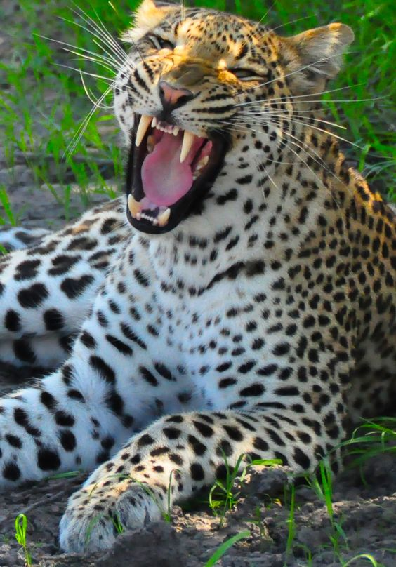See the real leopard spots in Botswana's nature reserves with Imprinttours.com.