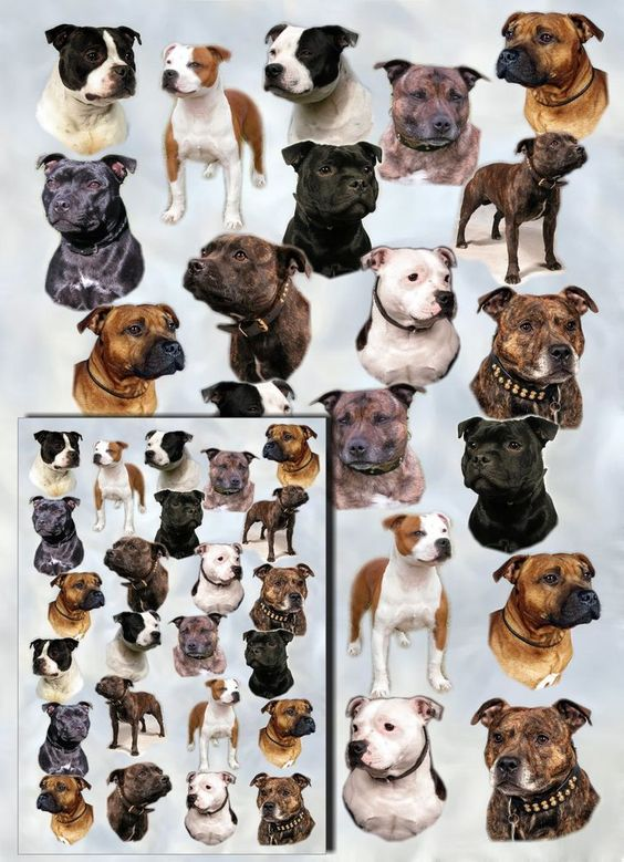 Staffordshire Bull Terrier / Staffie Dog Gift Wrapping Paper By Starprint