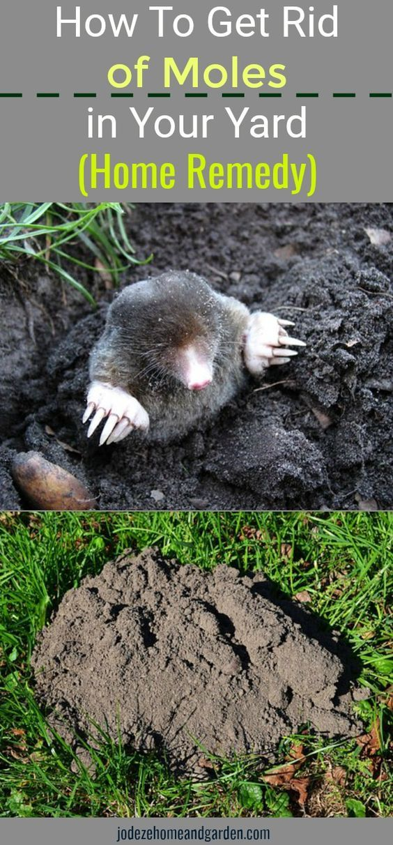 How To Get Rid Of Moles In Your Yard Home Remedy Home Remedies Moles In Yard Organic Gardening