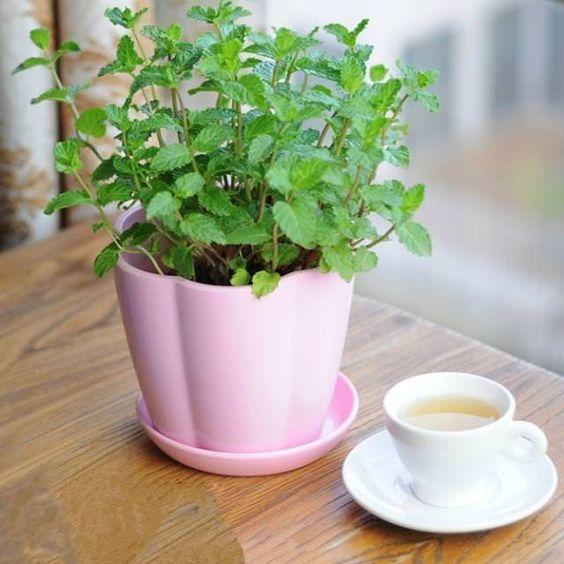 It doesn't require plenty of sun too. You can even keep your potted mint plant in a spot that receives bright indirect sun.