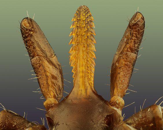 Ixodes sp. (Hypostome & Palp); jak-spravne-odstranit-kliste-horska-veterinarni-klinika