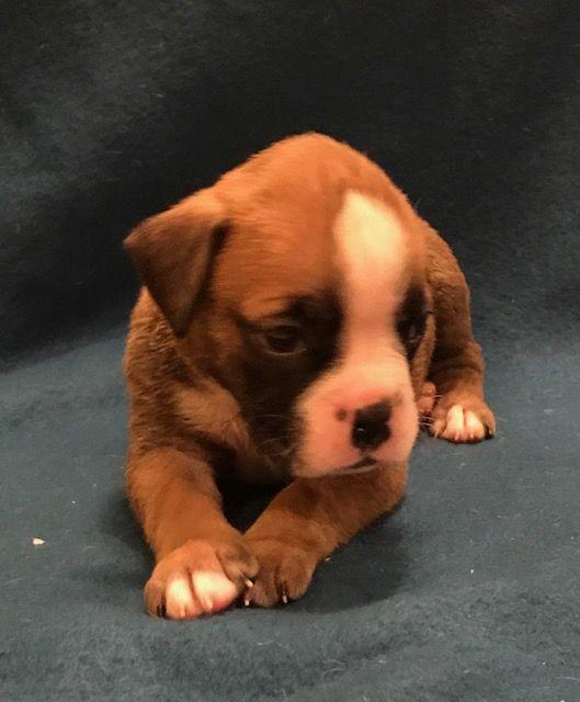 Boxer Puppy For Sale In Worcester Ma Adn 56791 On Puppyfinder