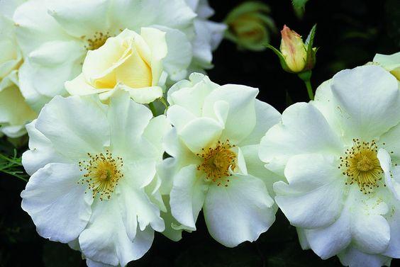 Flower Carpet White roses closeup | by tesselaarusa