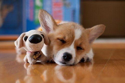 Corgi Dog Loves Toys Toy Lover Corgi Dogs Corgi Dog Toys Toy Lover