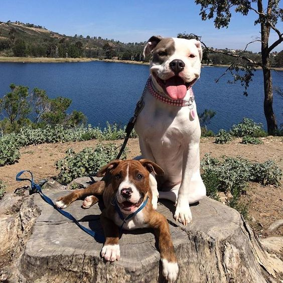 Hello dogs on a log  #dbmp #dbmb #bullybreed #bullbreedsofinsta #dogsonalog #myfavorite #miramarlake #mustlovedogs #mansbestfriend #pittie #pitbull #pitties #pitbulllove #pitbulladvocate #pitbullswag #dbmb #dbmp #DOGS #bullylife #bullbreed #woof #bestwoof #pitbullpuppy #puppies #puppyme #puppylove #cutebombs #cutedogs #cute } Photo : http://ift.tt/1UYiRbq