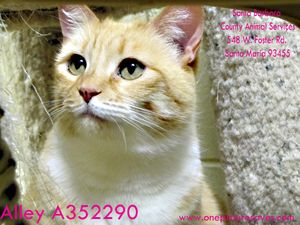 Alley is an adoptable Domestic Short Hair - Orange And White Cat in Santa Maria, CA. Alley is five years of age and arrived at the shelter on September 26, 2012.� She loves to 'make biscuits' on her b...