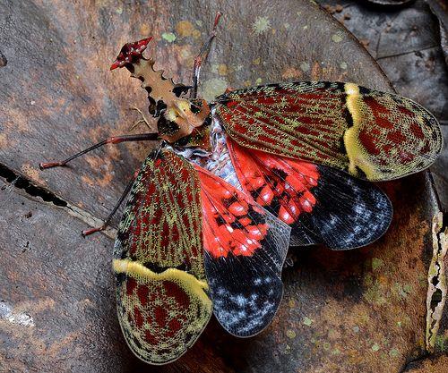 Phrictus quinqueparitus (Fulgoridae: Hemiptera) with wings open.