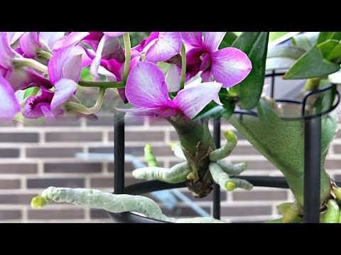 Dendrobium Orchids Orchid Care For Beginners Evelyn Perfect Youtube In 2020 Orchids Orchid Care Water Culture Orchids