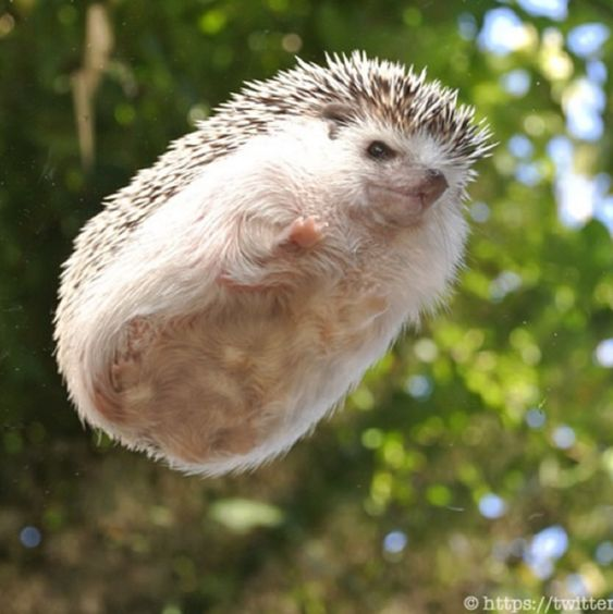 19 Pictures Of Hedgehog Bellies That Prove Everyone Has A