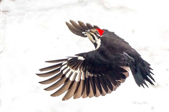 Debbie Anzinger McKay‎Canadian Bird Photographer Pileated Woodpecker in flight - taken today (yes - there is still snow left here)(Northern Ontario)