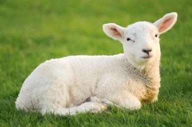 spring-lamb.jpg - Chris Hepburn/Photodisc/Getty Images