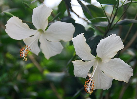 Tropical Hibiscus 'Dainty White'