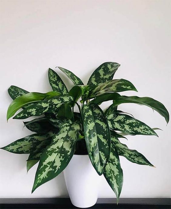 Chinese evergreen, water propagation