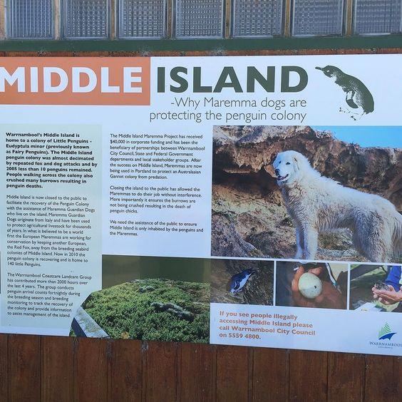 #middleisland #merimbula #penguin #Warrnambool #greatoceanroad #anniebauersmiles by anniebauersmiles