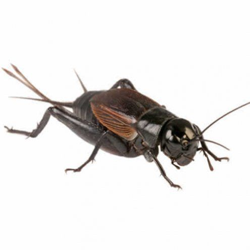 Medium Black Crickets 8 12mm 1000 Bag Livefood Cricket Insect Reptiles Pet Cricket