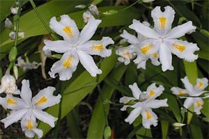 el cuidado de los lirios. Iris japónica