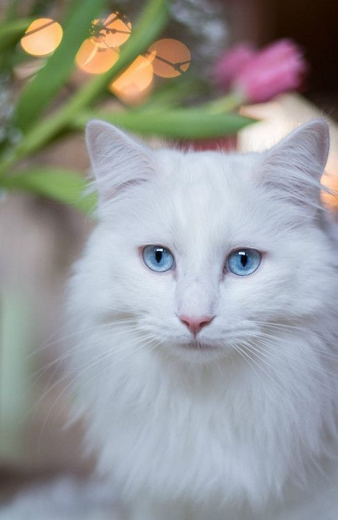 The Enchanted Cove Theenchantedcove From Imgfave Com Gorgeous Cats Beautiful Cats White Cats