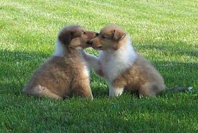 Collie-Puppies-Picture.jpg (400×269)