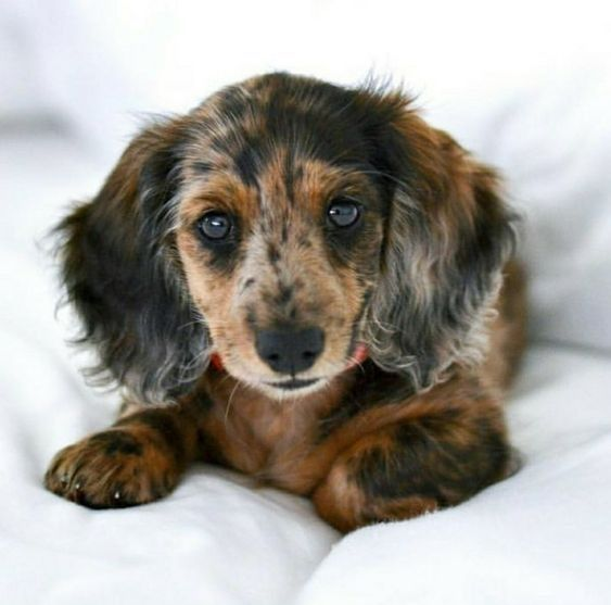 Dachshund Products Apparel And Gifts Dapple Dachshund Dachshund Breed Clever Dog