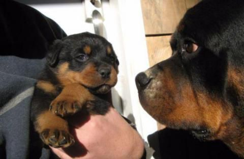 5 Weeks Old Purebred Rottweiler Puppies For Sale Purebred Rottweiler Rottweiler Puppies For Sale Rottweiler Puppies