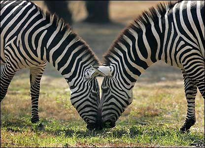 Zebra ;) Leigh x