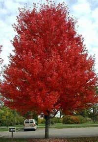 Young Autumn Blaze Maple Tree Mature Chanticleer Pear Tree. ""
