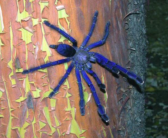 Tarântula azul de Singapura (Lampropelma violaceopes) é uma linda espécie asiática arborícola (vive em árvores) encontrada na Malásia e Singapura. Chegam a medir 25 cm de envegadura.