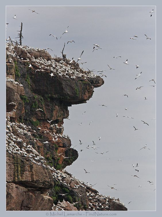 FindNature.com - Photos - Fou de bassan, Northern Gannet, Morus bassanus
