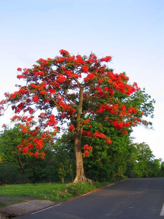 Fleurs et plantes de la r union flore ile de la for Arbre exotique exterieur
