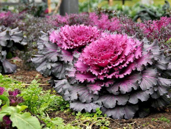 Les légumes ornementaux