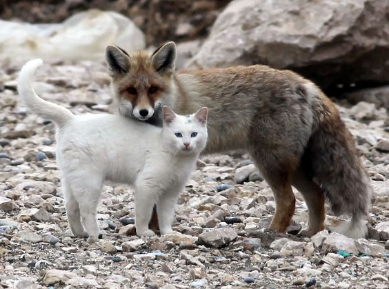 Cat and Fox, Best Friends. This pair have been seen together for over a year in Lake Van, Turkey. They were first spotted by local fisherman who witnessed them sharing a fish and playing together.