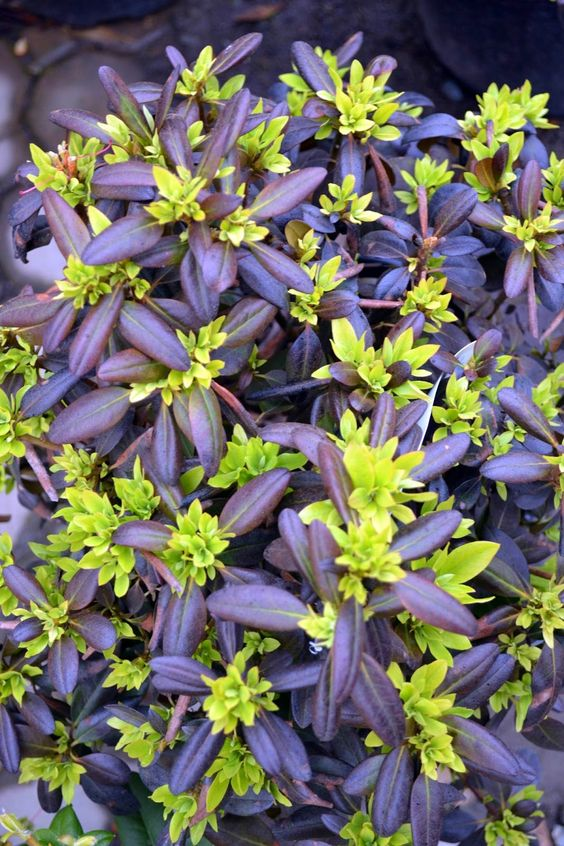 perennials in chartruce and blue | ... chartreuse - gorgeous. Oh, they bloom sometime too but who cares