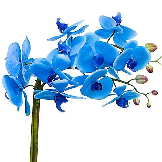 Resultado de imagem para orquídeas azuis