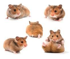 「倉鼠」的圖片搜尋結果