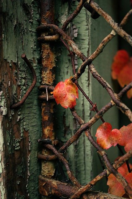 LOVE these colors textures together.       The rusty gate, the peeling paint, and the delicate leaves.