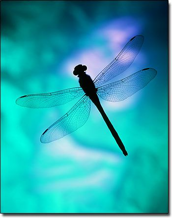 Dragonfly Silhouette, fine art abstract photograph by M E Miller  ticknthistle.com