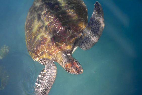 Schildkröten fühlen sich auch in den Gewässern vor Kolumbien wohl, sowie in weiten Teilen Süd- und Mittelamerikas.