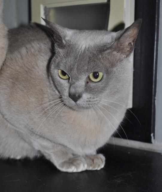 379 18c Stanley Burmese Cat Aged 4 Years 9 Months Cat Ages