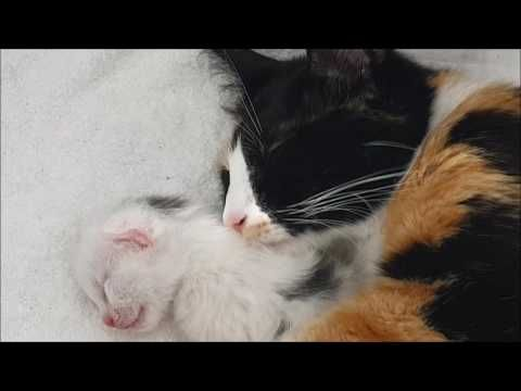 Day 10 13 Of The Lives Of Lotje Her Newborn Kittens Eyes Open Youtube Newborn Kittens Kitten Eyes Kittens