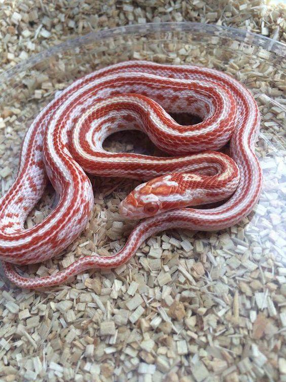 Candycane Tessera Corn Snake Snake Baby Mole