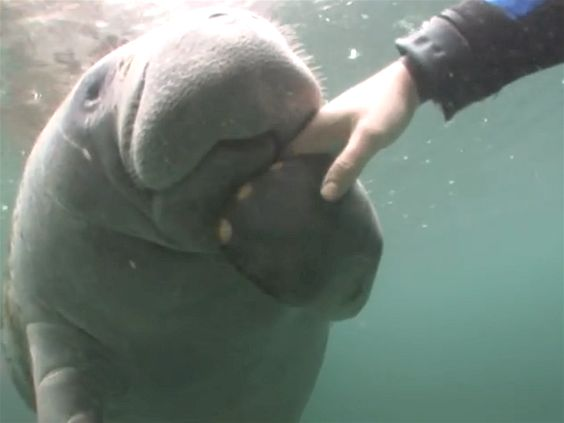 People come from all over the world to swim with our Crystal River Manatees. Description from crystalriver.com. I searched for this on bing.com/images