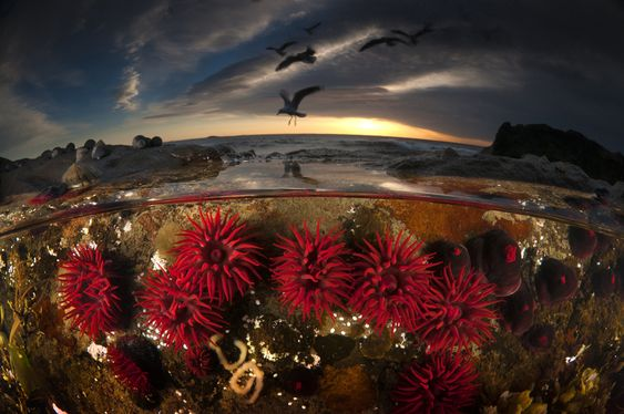 2013 National Geographic Photo Contest - Matt Smith --- An over/under water split level image of beautiful crimson red waratah anemones in a rock pool at low tide. What I really love about over/under photographs is that it gives the underwater element a sense of place. For the viewer it marries the underwater environment with our own familiar world. It links the unknown with the known.
